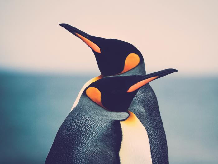 Stock image of penguins.