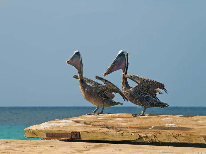 This stock image shows a pair of brown pelicans.